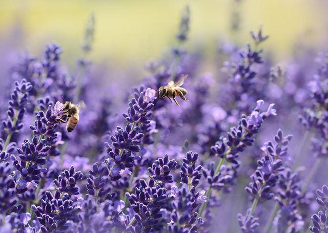 Eine Symbiose: Bienen ernähren sich von Nektar und bestäuben dafür die Blüten.