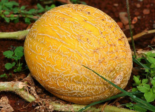 Bei der Netzmelone erkennst du die Fruchtreife an dem ausgeprägten Netzmuster.