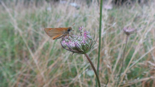 Die wilde Möhre bietet Insekten wie Schmetterlingen oder Bienen wertvolle Nahrung..