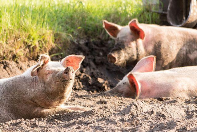 Massentierhaltung und artgerechte Tierhaltung schließen sich meist aus.