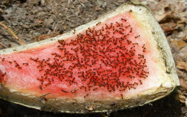 natural ant repellent: remove food sources