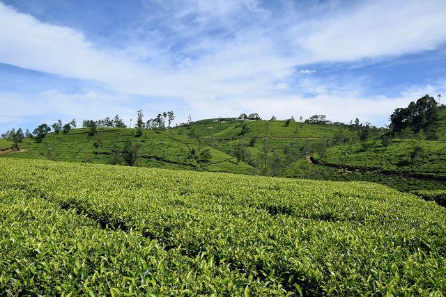 In Sri Lanka wird Ceylon Tee angebaut.