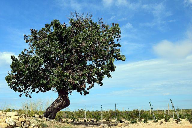 Maulbeerbäume können mehrere 100 Jahre alt werden.