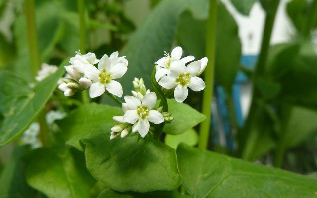 Essbare Blüten: Buchweizen