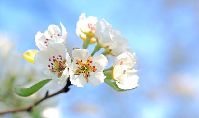 Apfelblütenstecher legen ihre Larven in die Knospen der Apfelbäume.