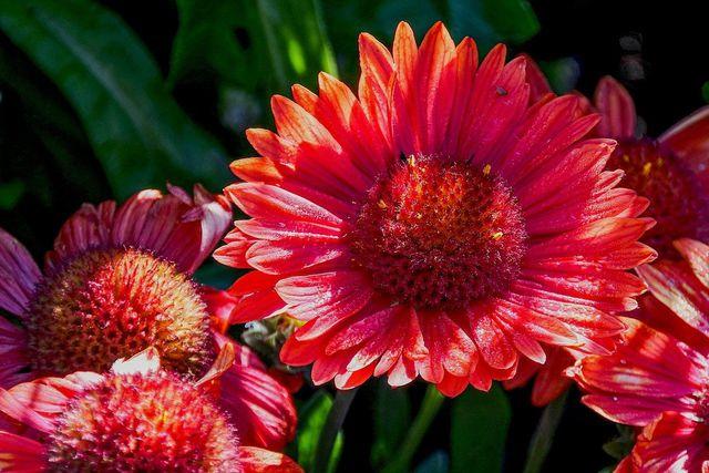 Kokardenblumen können auch in roter Farbe erblühen.