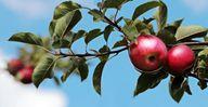 Äpfel zählen zu den histaminarmen Lebensmitteln.