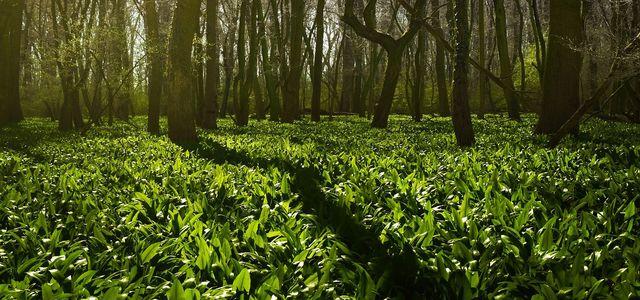 Botanischer volkspark pankow bärlauch