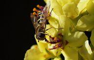 Die Königskerze ist sehr pflegeleicht und außerdem auch bei Bienen als Nahrungsquelle sehr beliebt.