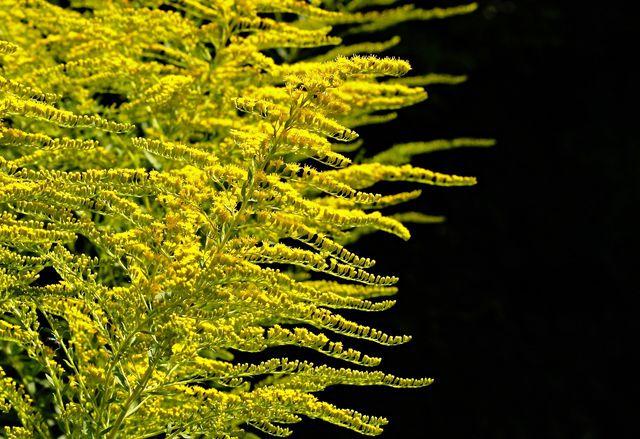 Die Goldrute hilft in Kombination mit Birkenblättern und Ackerschachtelhalm bei Harnwegsinfekten.