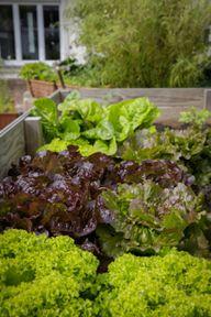 Im dritten Jahr kannst du überwiegend Salat anbauen.