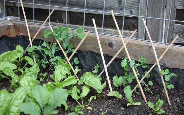 Ein Jägerzaun ist eine gute Rankhilfe für niedrig wachsende Kletterpflanzen.