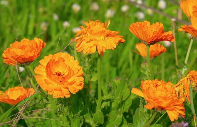 Die Ringelblume ist für den Drahtwurm giftig und eignet sich deshalb gut als Pflanznachbar für gefährdete Pflanzen.
