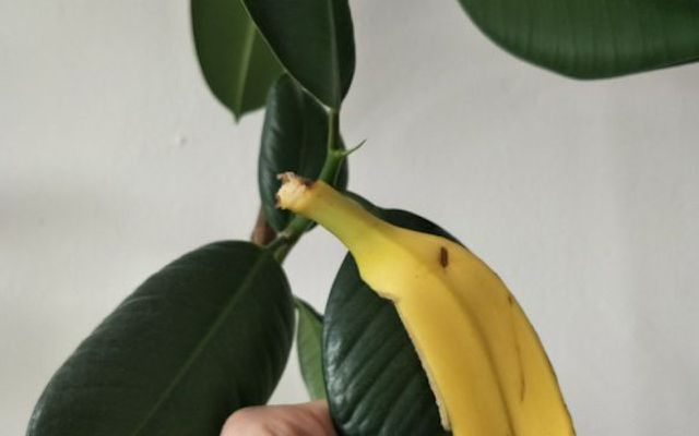 Banana peel uses for plants