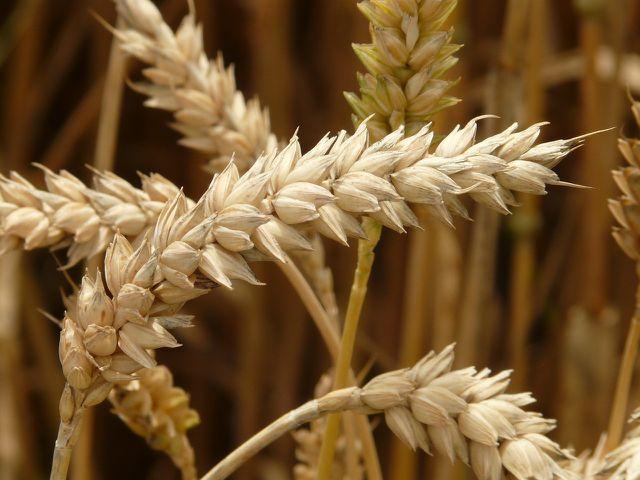 Für die Gewinnung eines Liters Weizenkeimöl benötigt man eine Tonne Weizen.