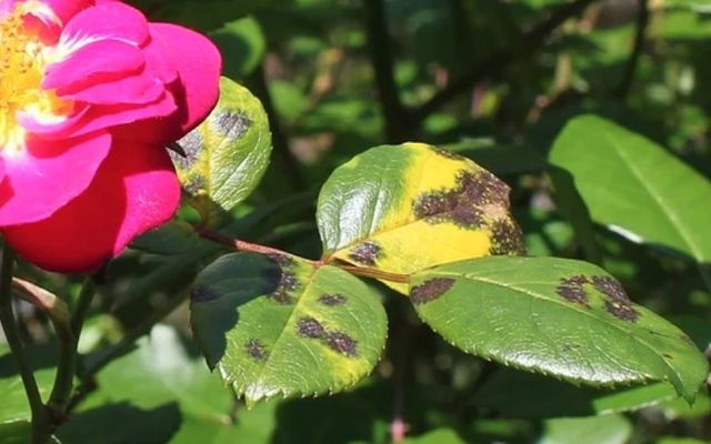 rose diseases sooty mold