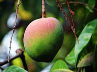 Das gesunde Mangiferin kommt nicht nur im Fruchtfleisch der Mango, sondern auch in der Rinde des Mangobaums vor.