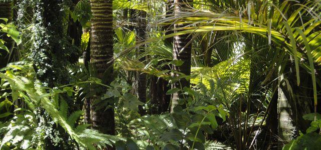 Guarana wächst als lianenartiges Gewächs im Amazonasregenwald