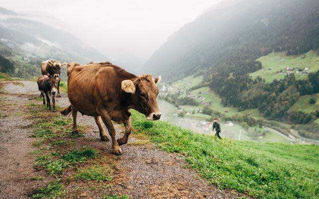 Ferien mit Kindern Land Österreich Kühe