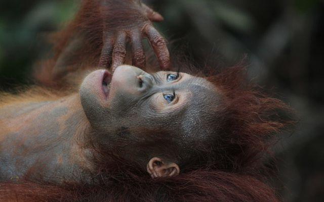 Palmöl zerstört Regenwald – die Heimat von Orang-Utans