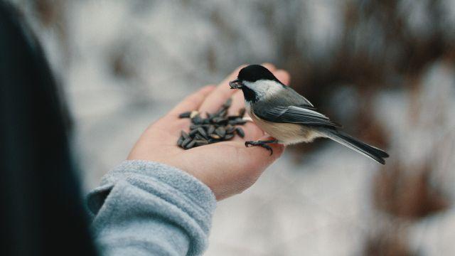 feeding birds sunflower seeds