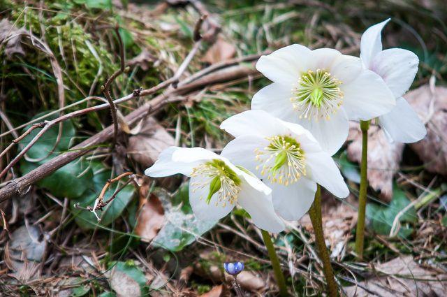 In der Natur wachsen Christrosen oft in Gehölzen und bewaldeten Gebieten.
