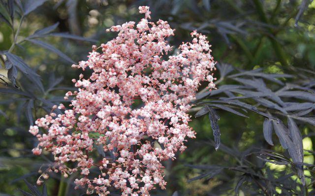 flowering shrub for shade