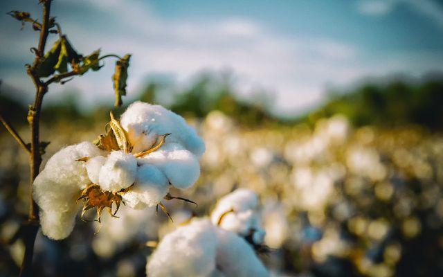 Der Wasserverbrauch von Baumwolle ist groß, Bio-Baumwolle ist hier besser