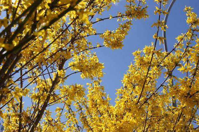 So schön die Blütenprach ist, als Hybriden nützen die Blüten Bienen nicht.