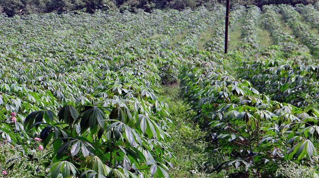 In tropischen Gebieten wird Maniok im großen Stil kultiviert.