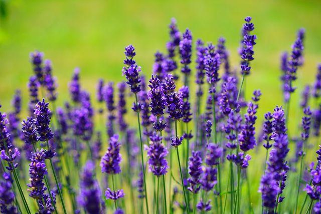 Auch Lavendel ist eine winterharte Balkonpflanze.