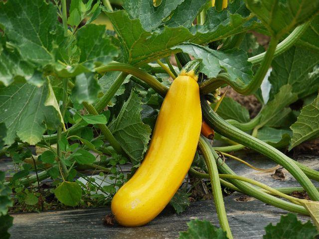 Starkzehrer wie die Zucchini eignen sich besonders für dein Hochbeet im ersten Jahr.