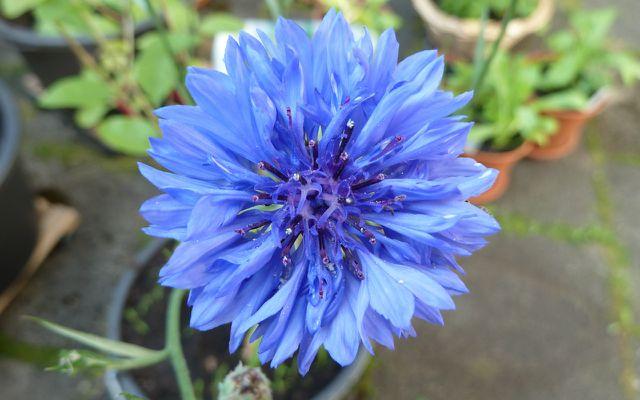 essbare Blüten: Kornblume