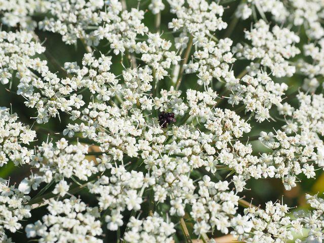 Die wilde Möhre kannst du anhand des charakteristischen Flecks in der Mitte der Blüte von der Hundspetersilie unterscheiden.
