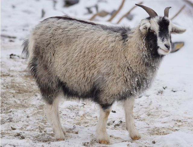 Cashmere Wool comes from Cashmere Goats