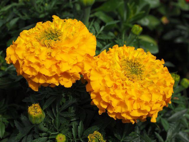 Studentenblumen sind äußerst robust und pflegeleicht.