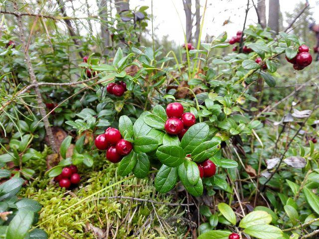 Heimische Preiselbeeren sind so wirksam wie Cranberries.