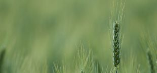 Wild Spelt Grain