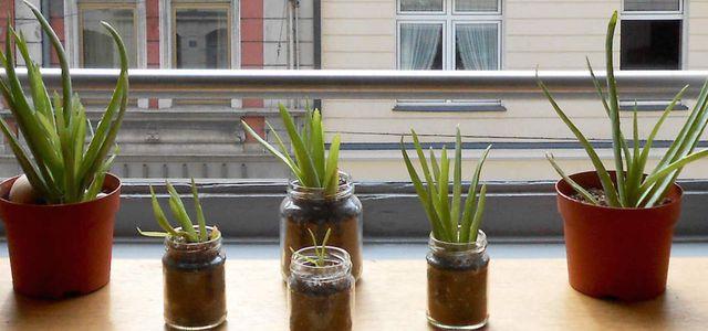 Aloe Vera Anpflanzen Die Besten Pflege Tipps Utopiade