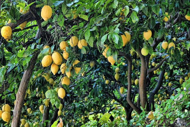 Zitronen haben in Italien von November bis Juli Saison.