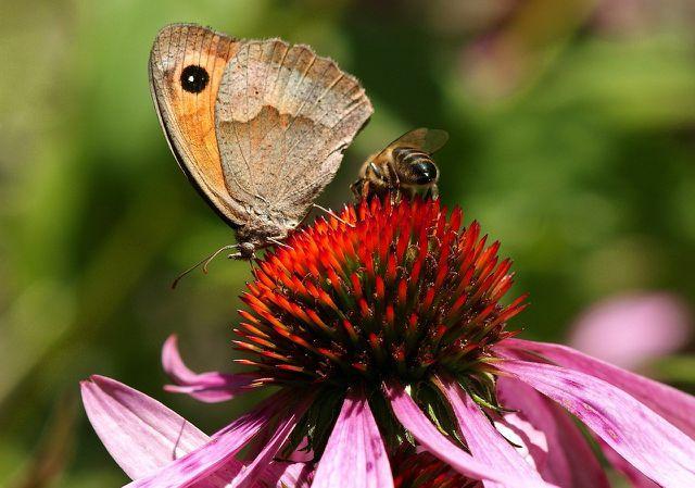 Insekten lieben den Purpursonnenhut.