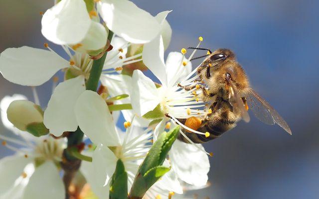 Honigbienen fliegen Blüten an, deren Pollen Pyrrolizidinalkaloide enthalten.
