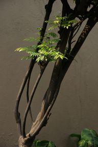 Als Curryblätter werden die Blätter des Currybaums bezeichnet.