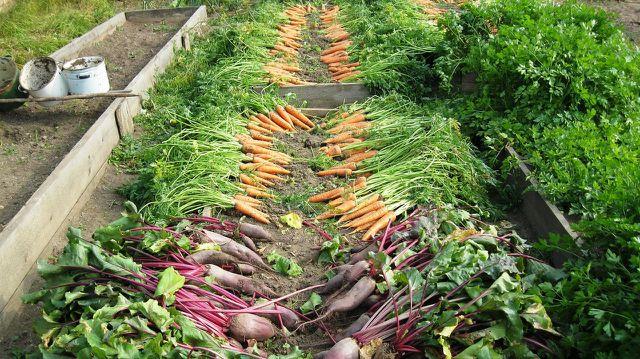 Bei der Gemüseernte im Kartoffelkombinat kannst du mithelfen.