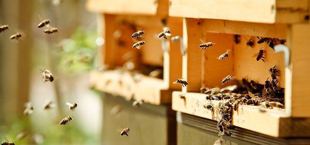Gegen das Bienensterben: Die hemischen Hobbyimker tragen viel zum Erhalt der Honigbienen bei.