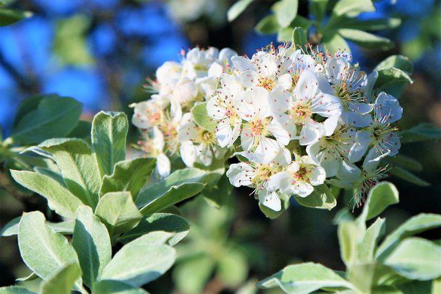 Die Blüten der Echten Wildbirne kannst du kandieren und als süße Dekoration verwenden.
