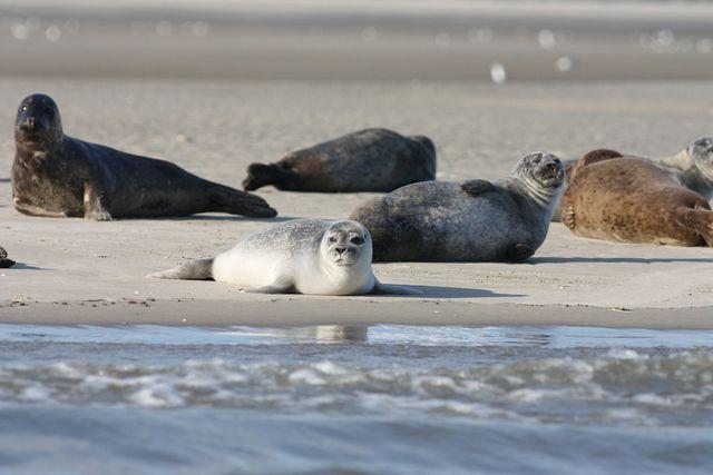 Geisternetze schneiden Robben den Weg an die Oberfläche ab.