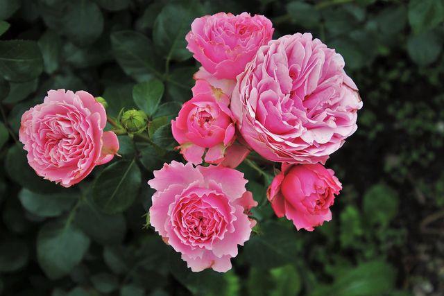 Wenn Rosen von Blattläusen befallen sind, werden die Blüten und Blätter braun und vertrocknen.