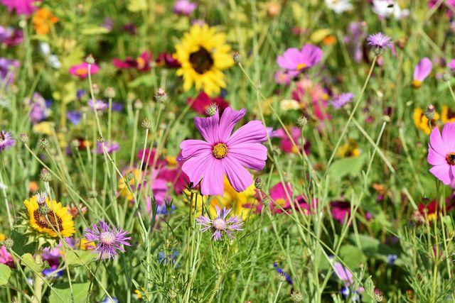 Herzstück eines Schmetterlingsgartens ist eine Wildblumenwiese.