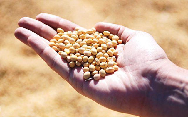 Soja und Sojabohnen gelten als gesund